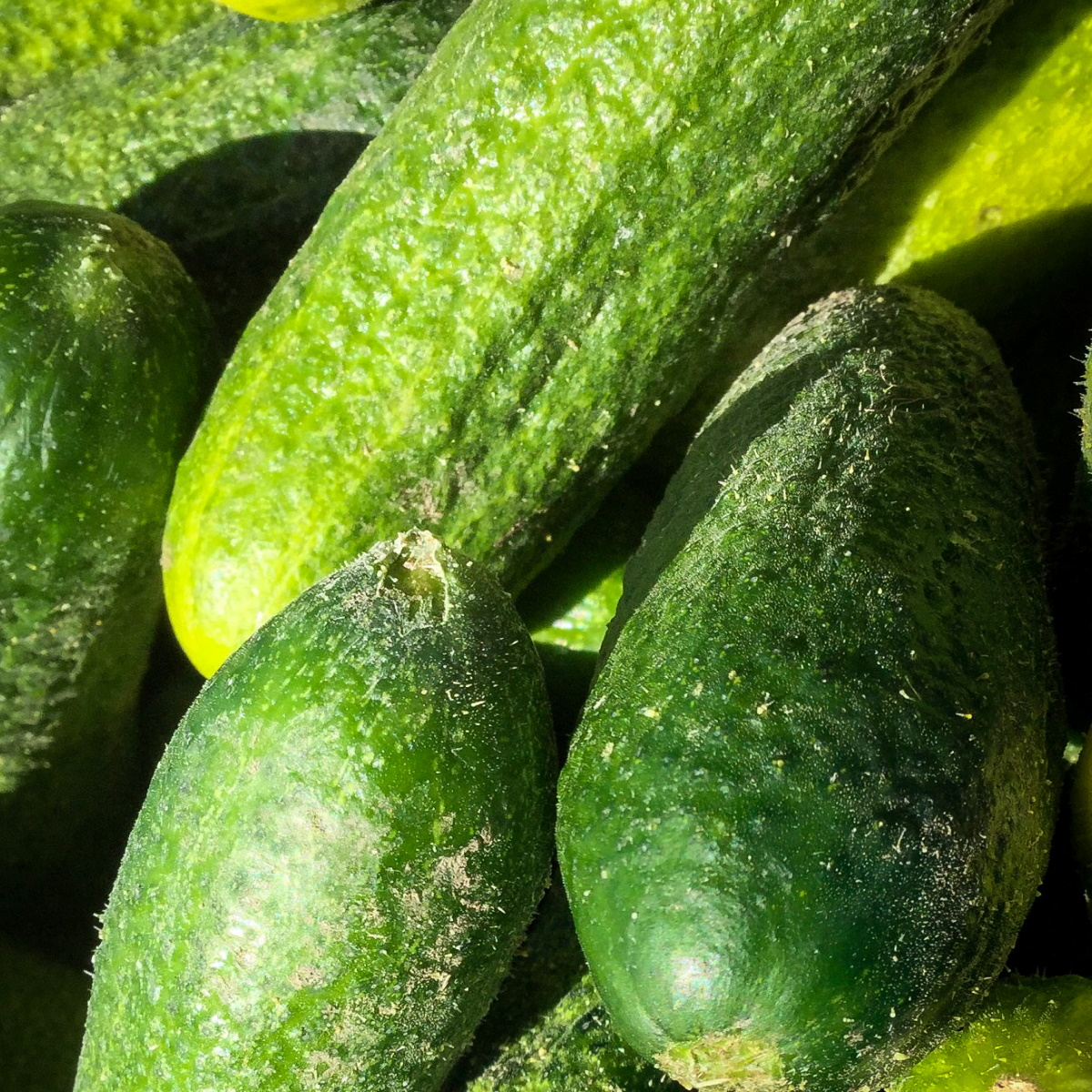 Okanagan Valley Cucumbers