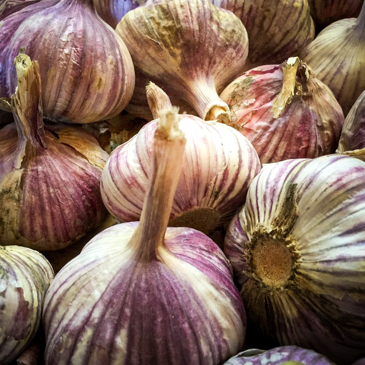 Okanagan Valley Garlic