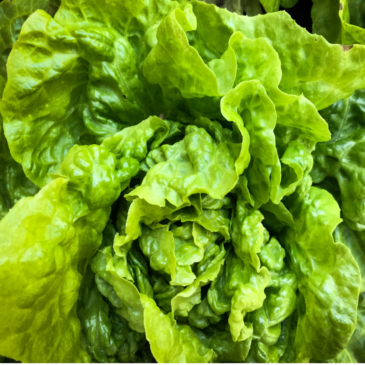 Okanagan Valley Head of Lettuce
